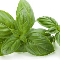 ARCHAEOLOGY OF HERBS & SPICES – Basil