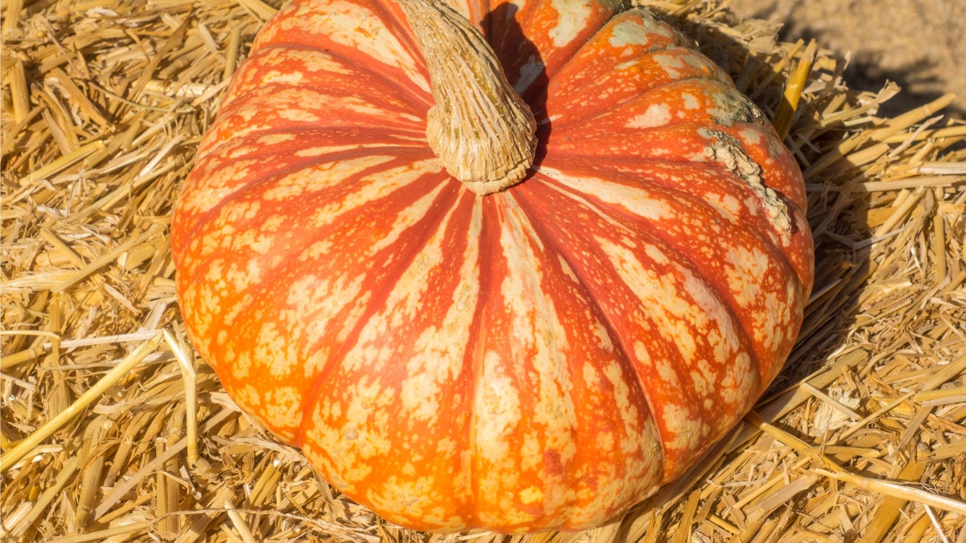 one-too-many pumpkin