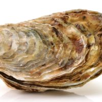 ARCHAEOLOGY OF SEAFOOD – Oyster