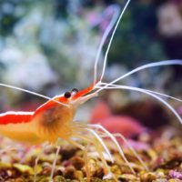 shrimp, freshwater, cleaner