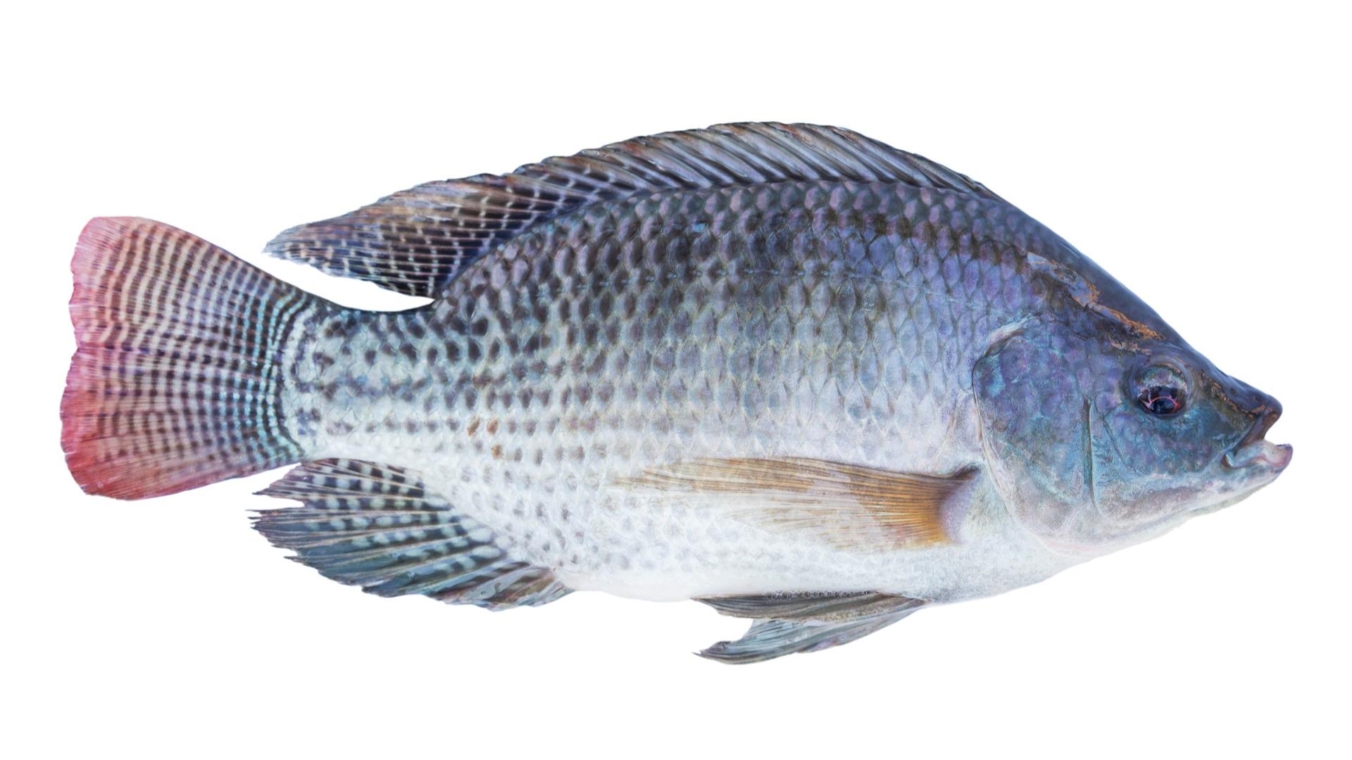 tilapia, fish