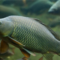 ARCHAEOLOGY OF SEAFOOD – Carp