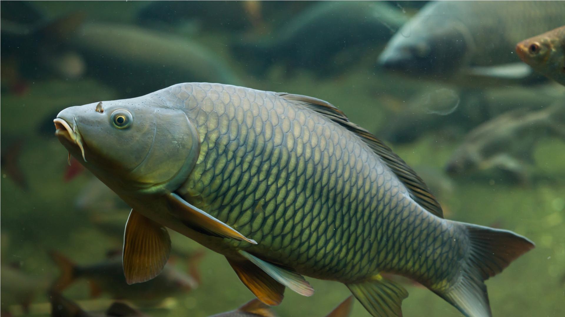 carp, fish