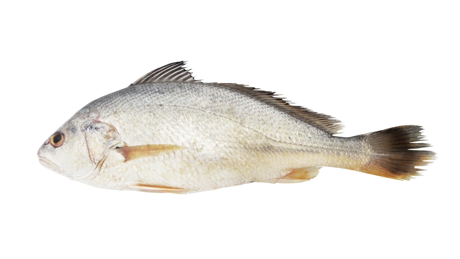 croaker, whiting, fish