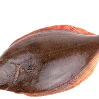 halibut