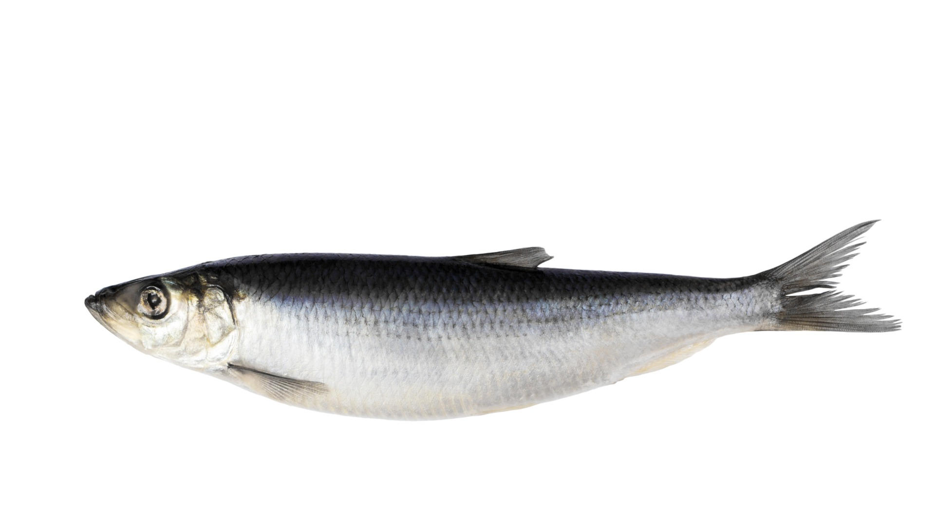 herring, Fish