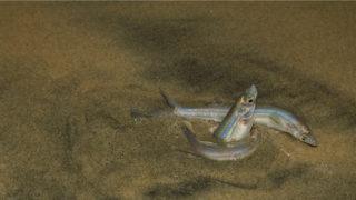 jacksmelt, silverside, fish
