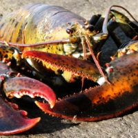 ARCHAEOLOGY OF SEAFOOD – Lobster