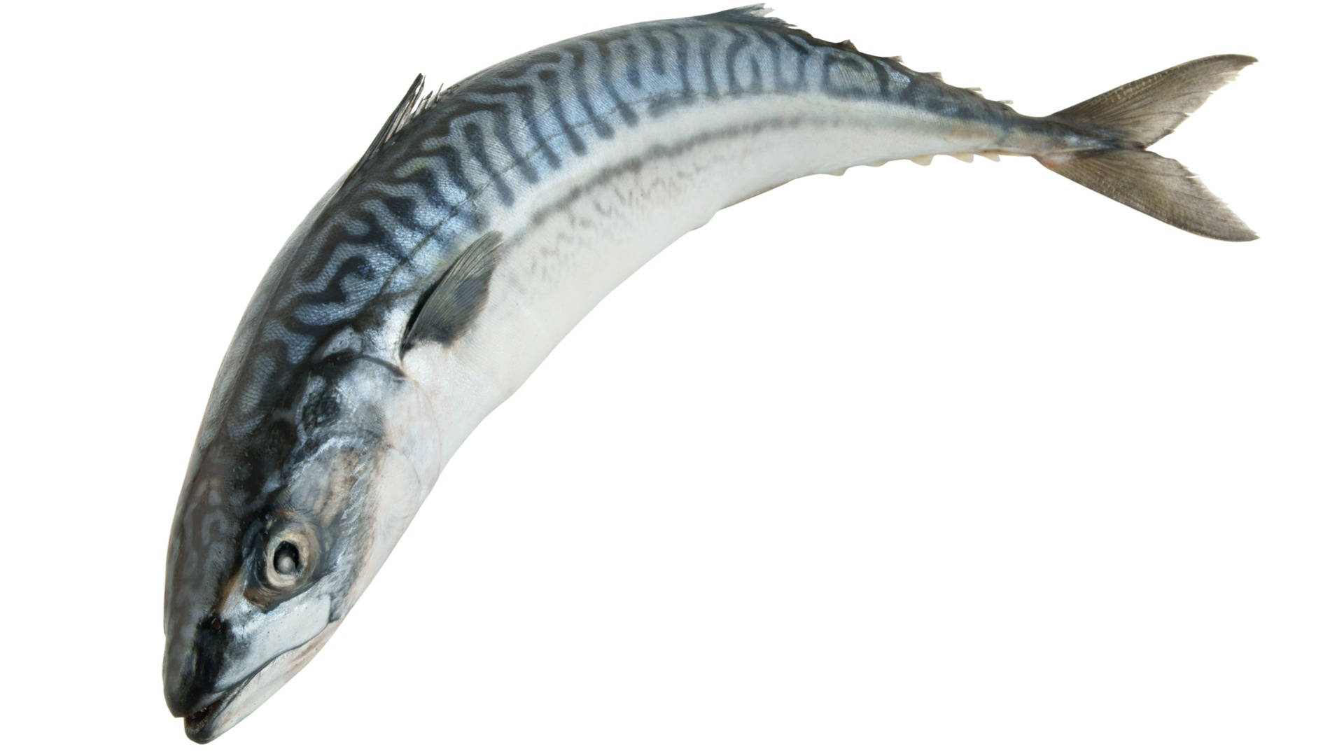 mackerel , fish