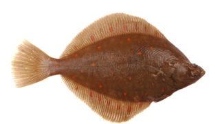 plaice, fish