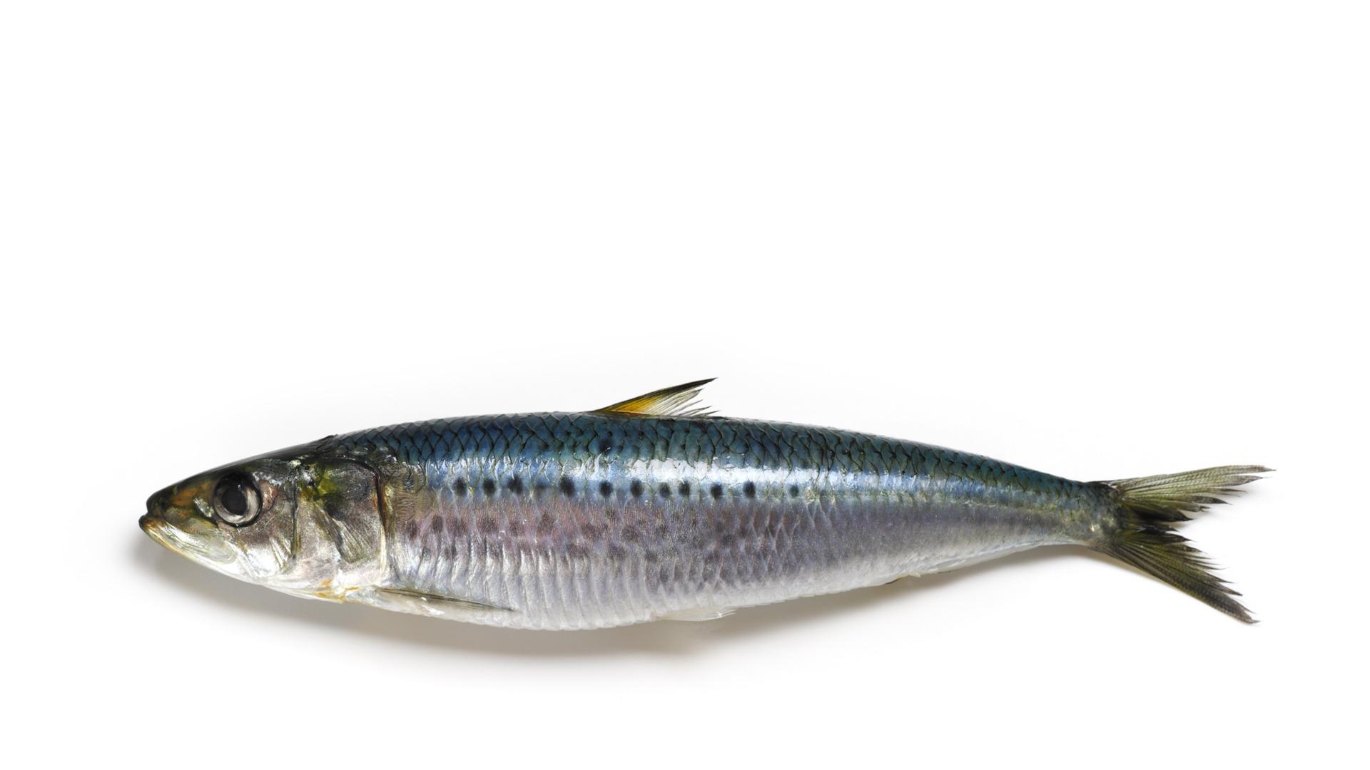 anchovy, sardine