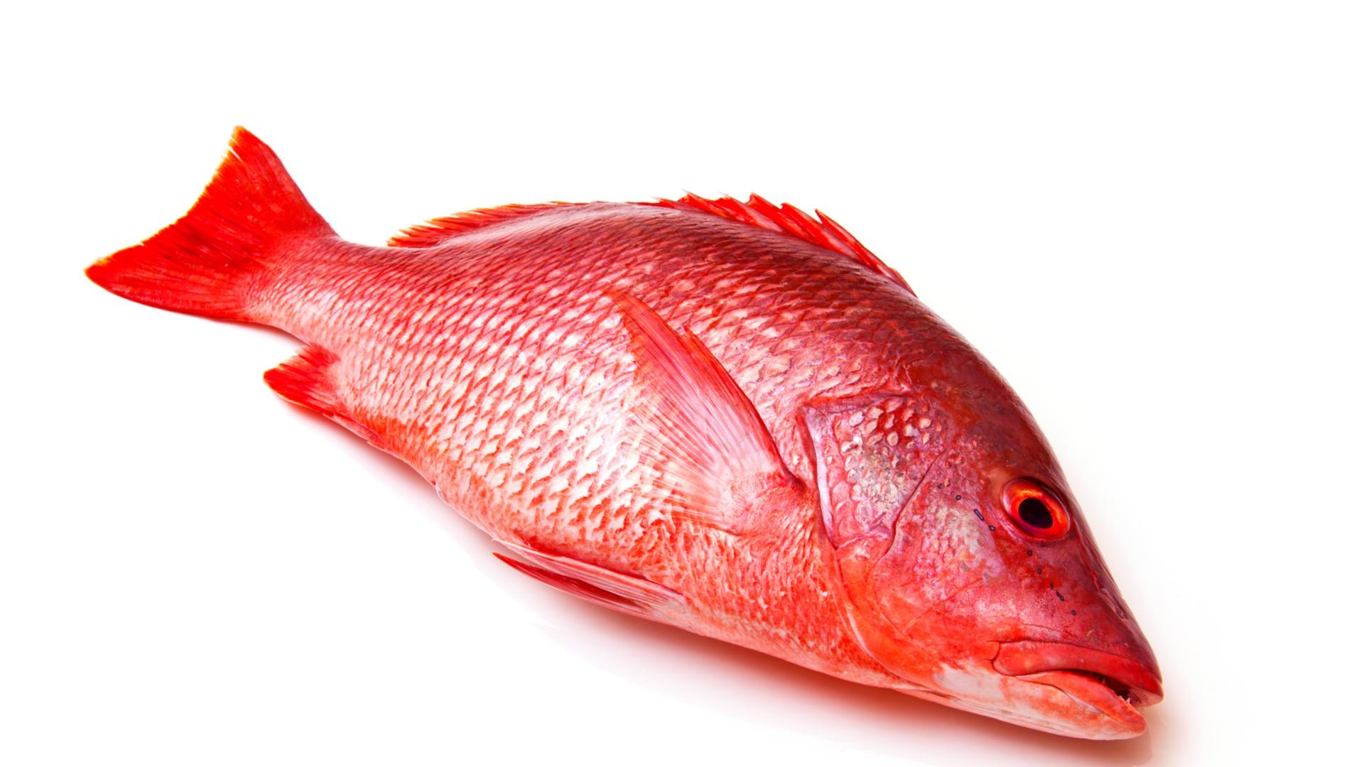 snapper, fish