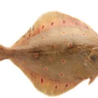 sole, fish