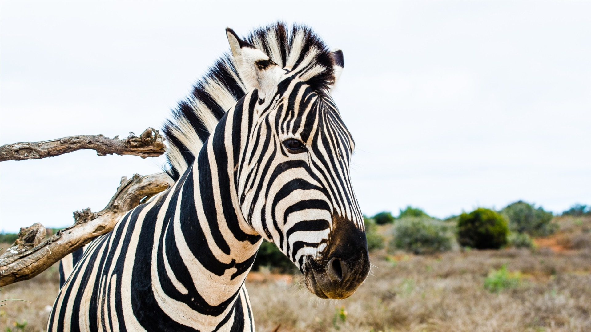Photo of a Zebra